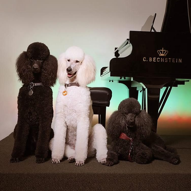 The Original Piano Poodles - Studio Portrait