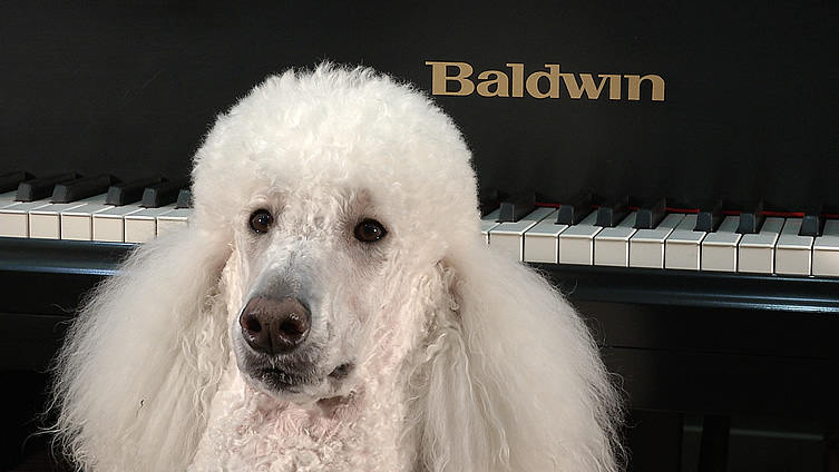 Baldoin poodle mugs in front of his favorite piano.