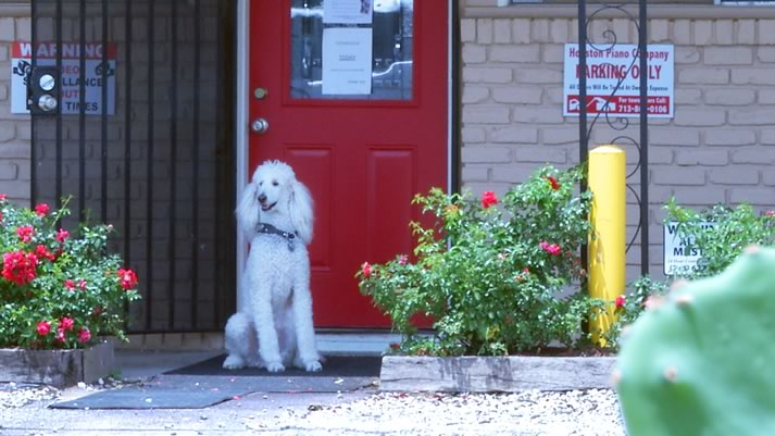 Houston Piano Comapny's mascot poodle, Baldoin, in front of the School of Music.